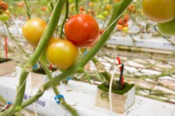 Science and Tomatoes