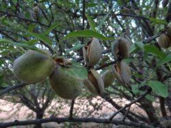 Figure 1: Almonds ready for harvest