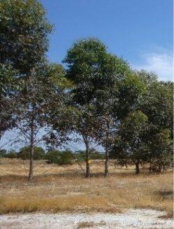 Eucalyptus cladocalyx - Sugar Gum