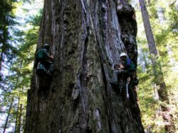 Sap Flow in Tall Trees