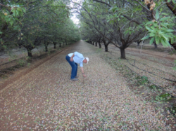 Figure 2: Almonds recently shaken from trees inspected by Daryl Winter