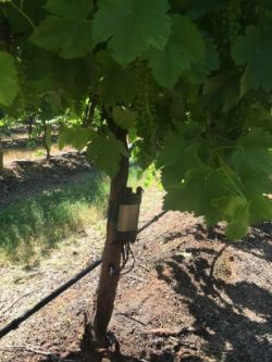 SFM1 Sap Flow Meter installed on a grape vine stem.